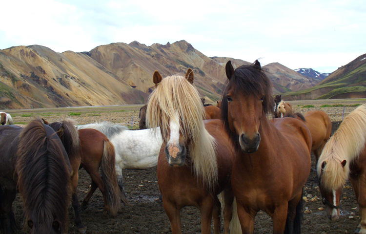Hekla-Landmannalaugar Trail- ride Icelandic horses on this equestrian holiday in Iceland